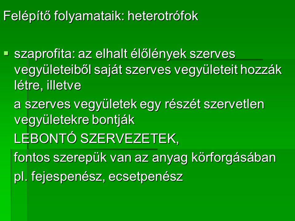 Felépítő folyamataik: heterotrófok