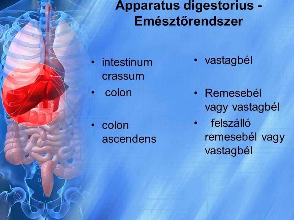 Apparatus digestorius - Emésztőrendszer