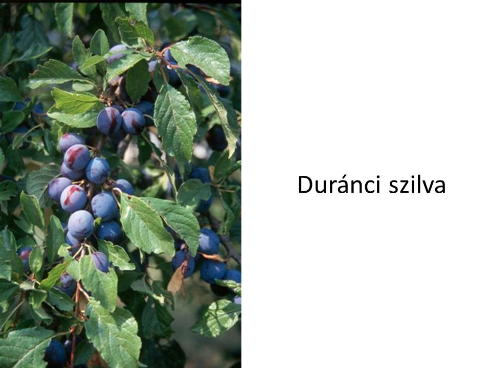 Duránci szilva