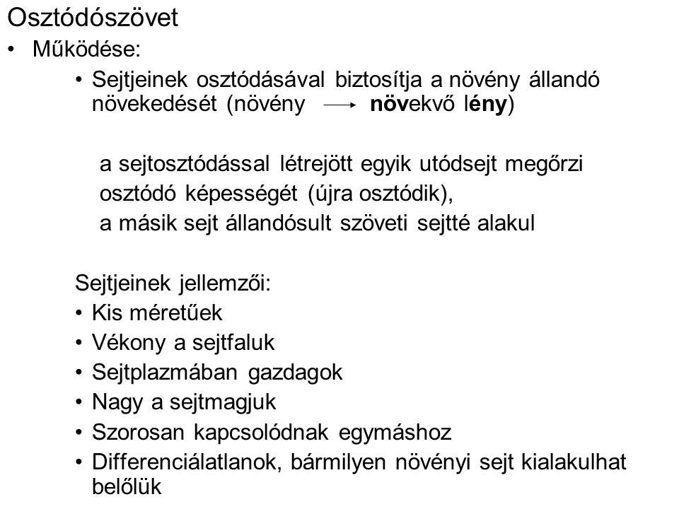 Osztódószövet Működése: