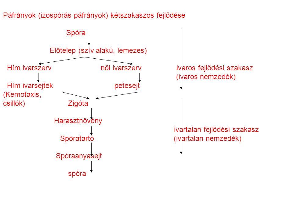 Páfrányok (izospórás páfrányok) kétszakaszos fejlődése