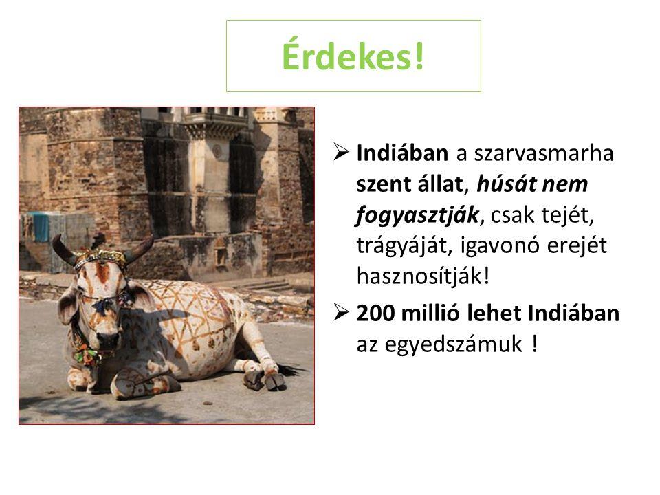 Érdekes! Indiában a szarvasmarha szent állat, húsát nem fogyasztják, csak tejét, trágyáját, igavonó erejét hasznosítják!