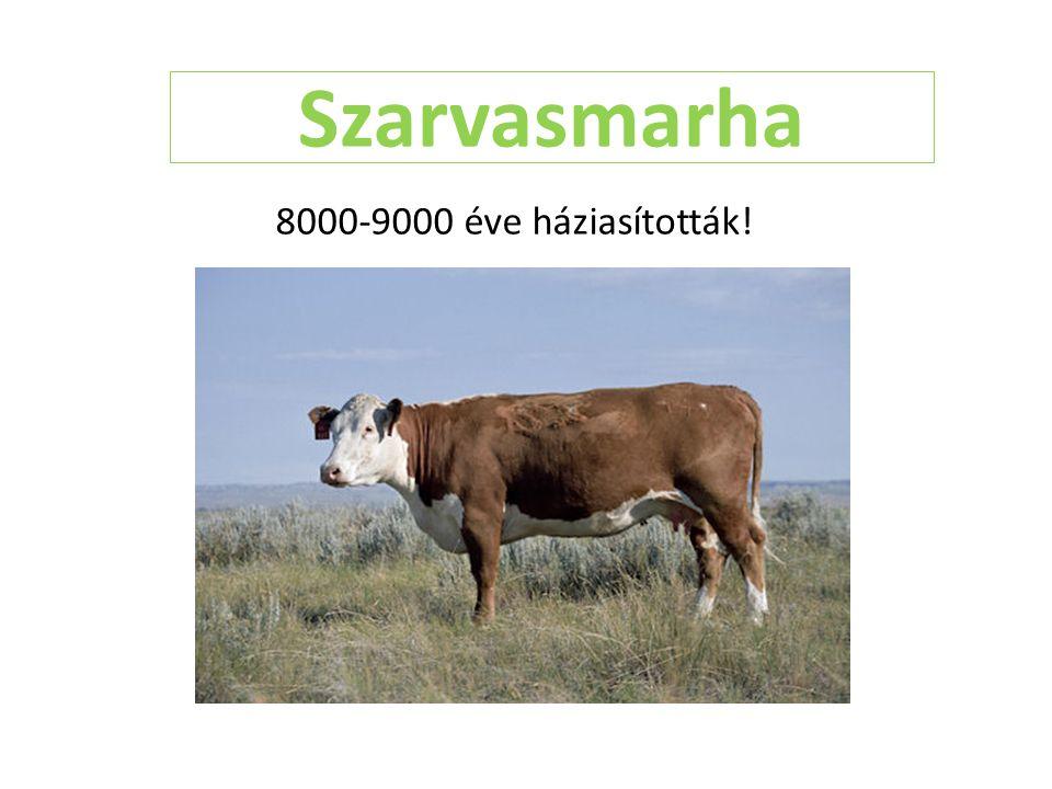 Szarvasmarha 8000-9000 éve háziasították!