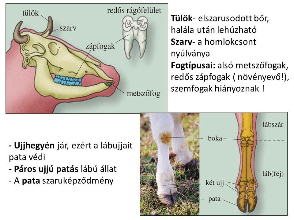 Tülök- elszarusodott bőr, halála után lehúzható Szarv- a homlokcsont nyúlványa Fogtípusai: alsó metszőfogak, redős zápfogak ( növényevő!), szemfogak hiányoznak !
