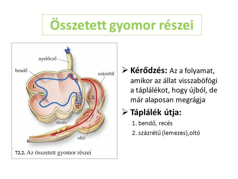 Összetett gyomor részei