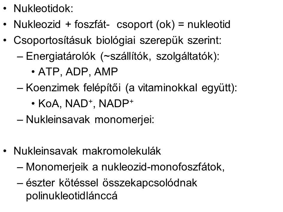 Nukleotidok: Nukleozid + foszfát- csoport (ok) = nukleotid. Csoportosításuk biológiai szerepük szerint: