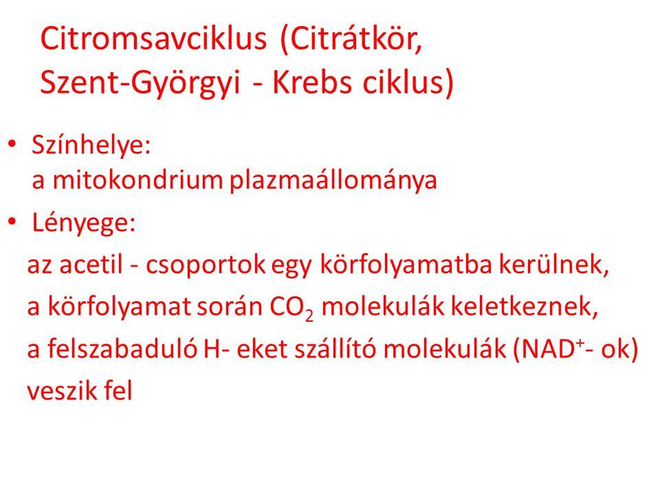 Citromsavciklus (Citrátkör, Szent-Györgyi - Krebs ciklus)