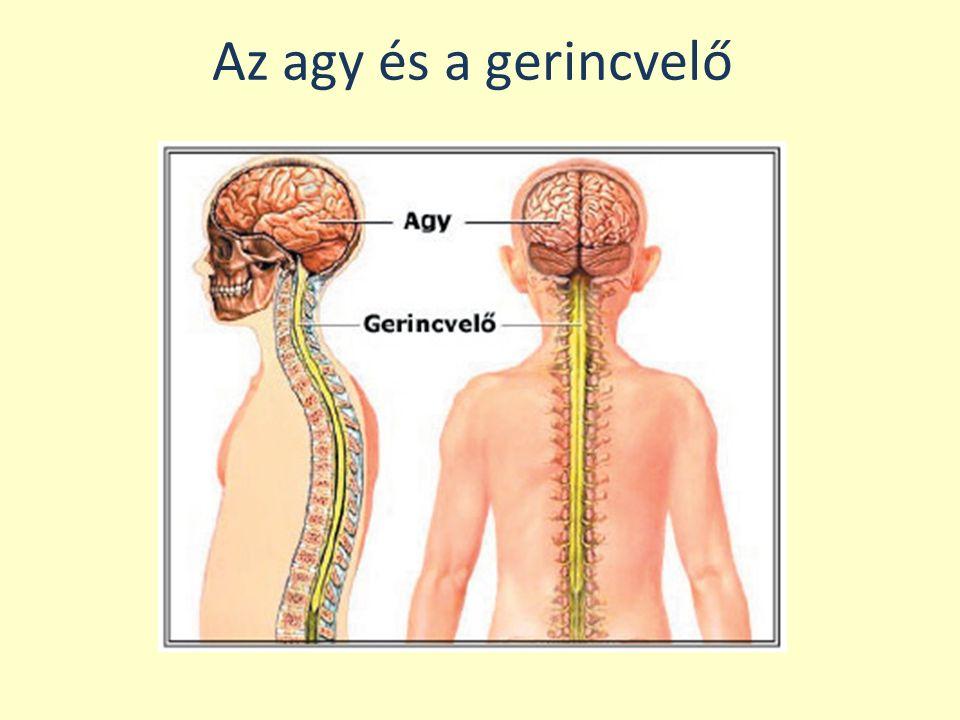 Az agy és a gerincvelő
