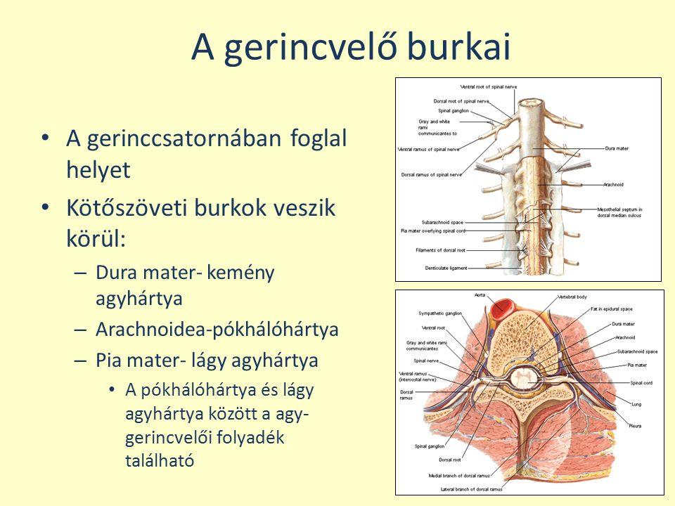 A gerincvelő burkai A gerinccsatornában foglal helyet