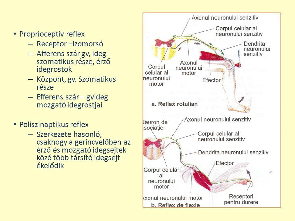Proprioceptív reflex Receptor –izomorsó. Afferens szár gv, ideg szomatikus része, érző idegrostok.