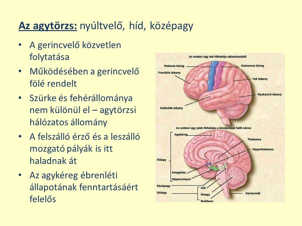 Az agytörzs: nyúltvelő, híd, középagy