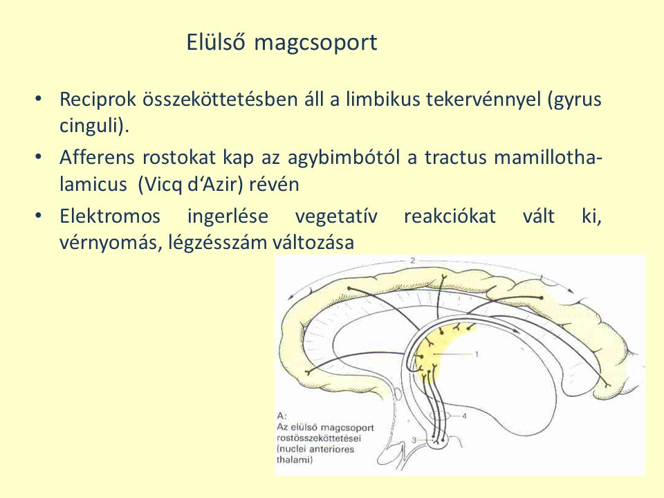 Elülső magcsoport Reciprok összeköttetésben áll a limbikus tekervénnyel (gyrus cinguli).