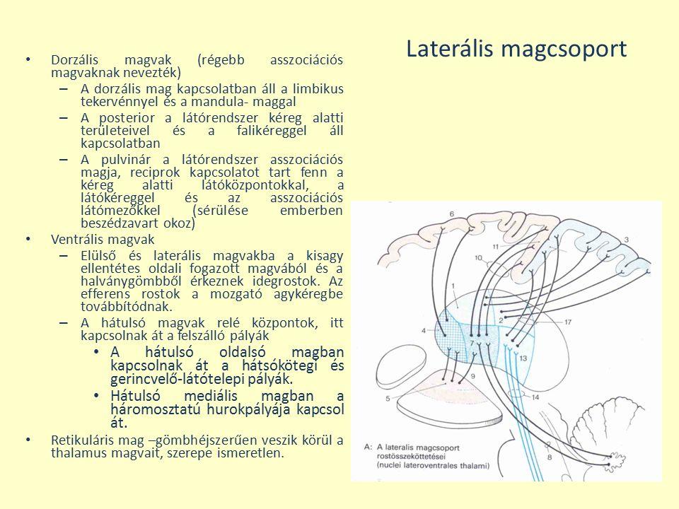 Laterális magcsoport Dorzális magvak (régebb asszociációs magvaknak nevezték)