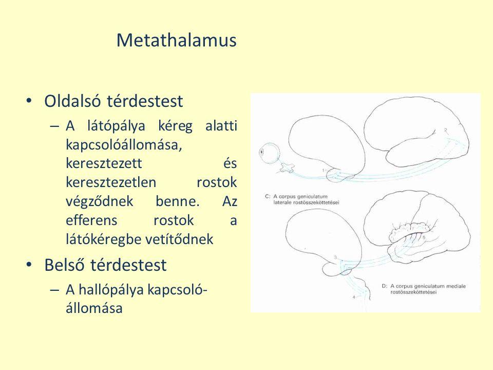 Metathalamus Oldalsó térdestest Belső térdestest