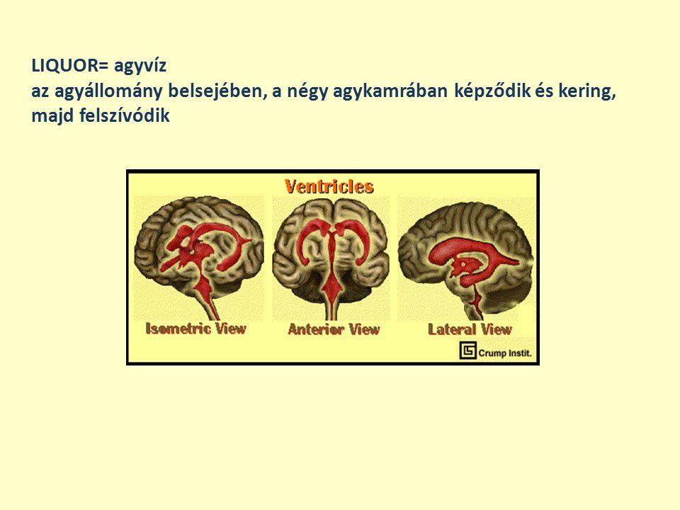 LIQUOR= agyvíz az agyállomány belsejében, a négy agykamrában képződik és kering, majd felszívódik