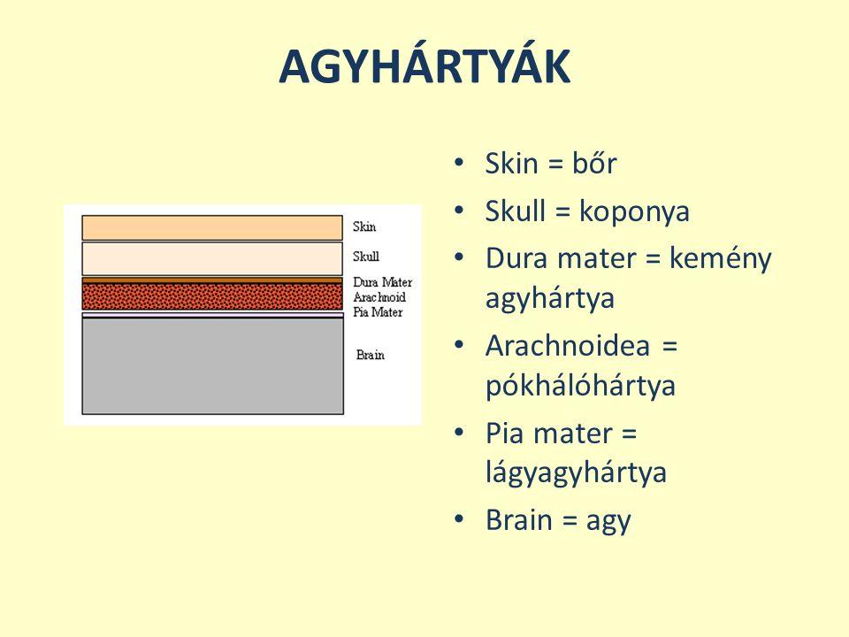 AGYHÁRTYÁK Skin = bőr Skull = koponya Dura mater = kemény agyhártya