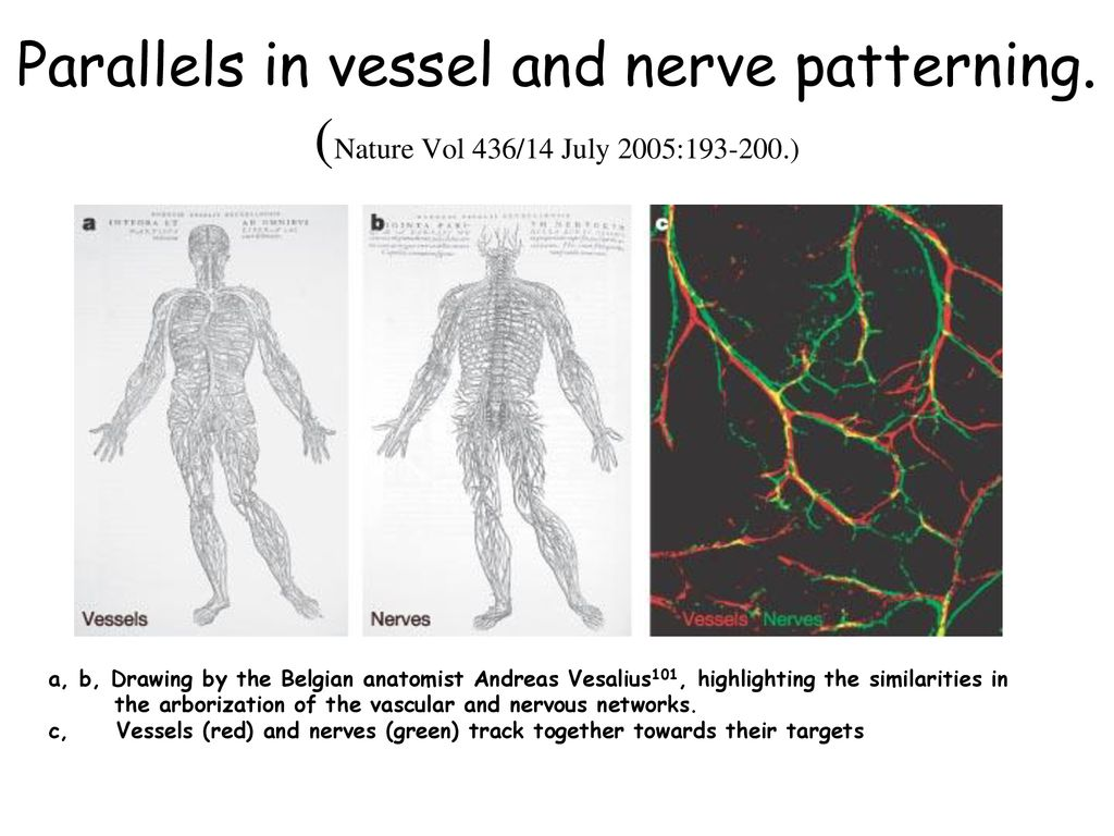 Parallels in vessel and nerve patterning