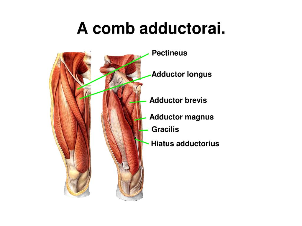 A comb adductorai. Pectineus Adductor longus Adductor brevis