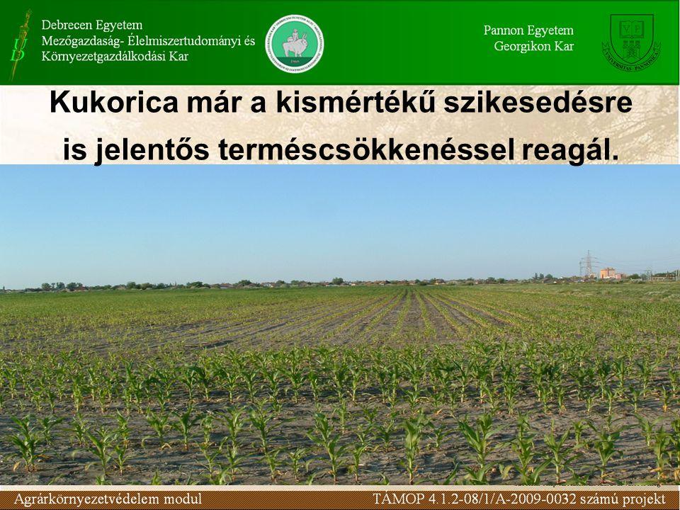 Kukorica már a kismértékű szikesedésre is jelentős terméscsökkenéssel reagál.