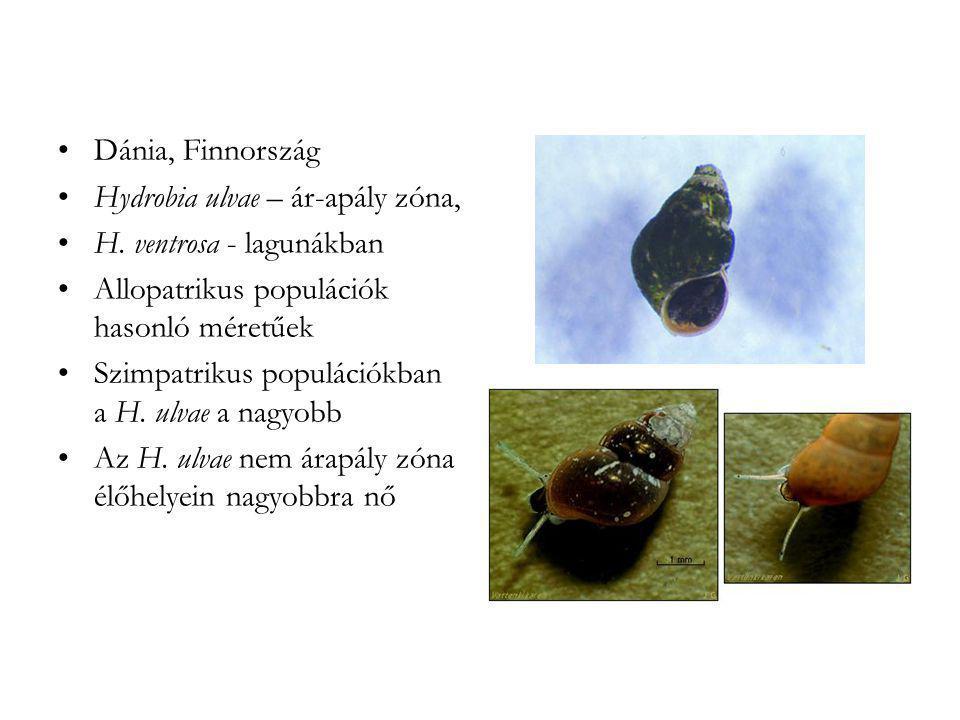 Dánia, Finnország Hydrobia ulvae – ár-apály zóna, H. ventrosa - lagunákban. Allopatrikus populációk hasonló méretűek.