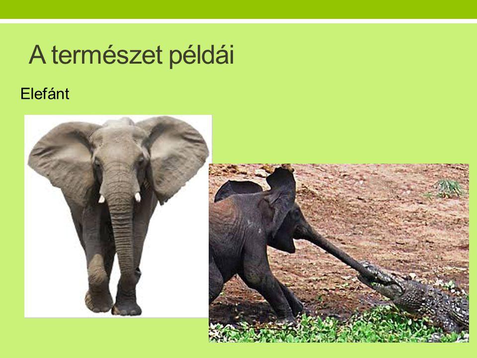 A természet példái Elefánt