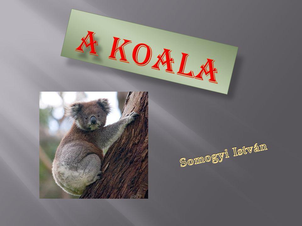 A koala Somogyi István