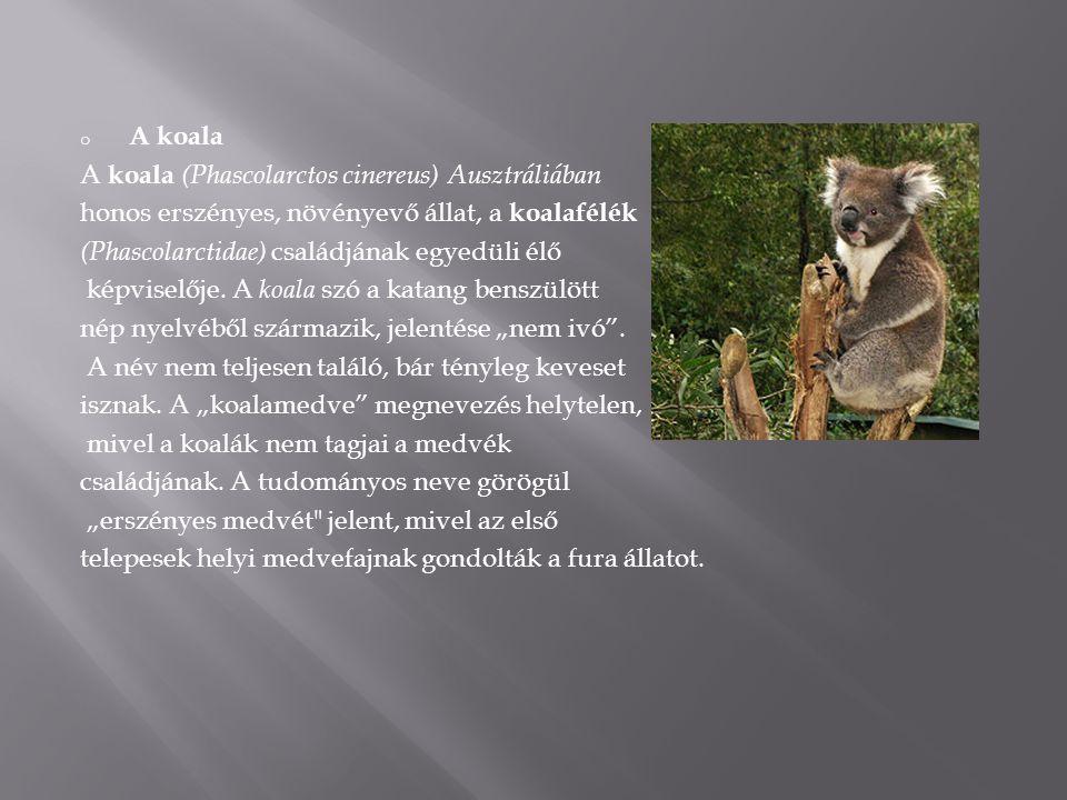 A koala A koala (Phascolarctos cinereus) Ausztráliában. honos erszényes, növényevő állat, a koalafélék.