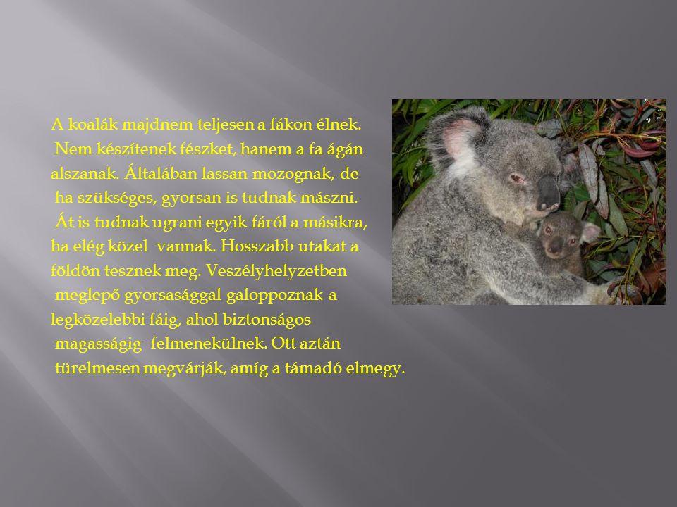 A koalák majdnem teljesen a fákon élnek.
