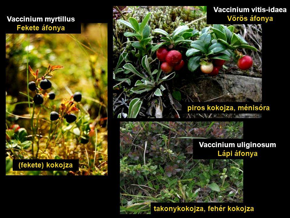 Vaccinium vitis-idaea Vörös áfonya Vaccinium myrtillus Fekete áfonya