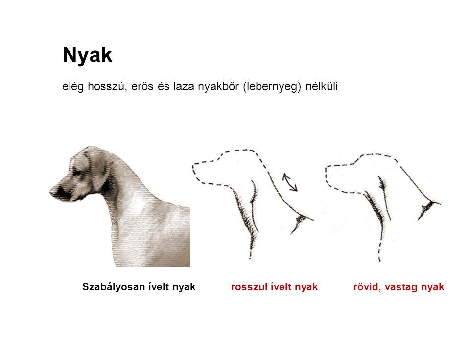 Nyak elég hosszú, erős és laza nyakbőr (lebernyeg) nélküli