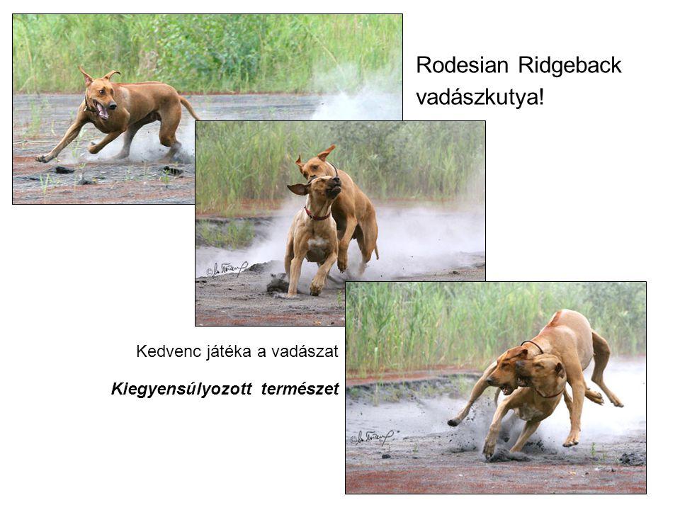 Rodesian Ridgeback vadászkutya!