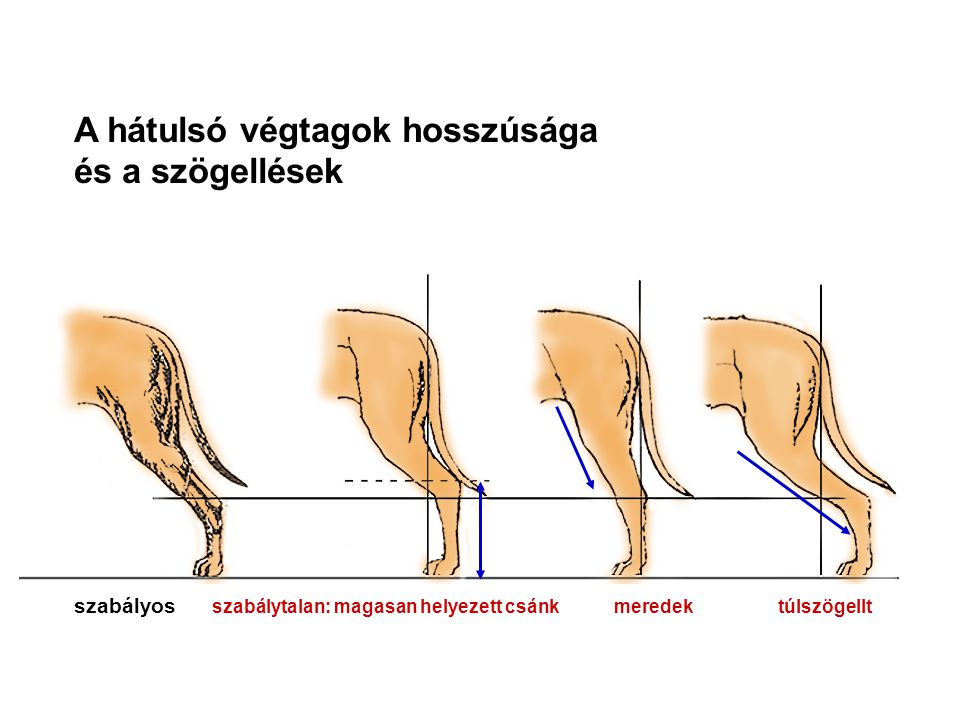 A hátulsó végtagok hosszúsága és a szögellések