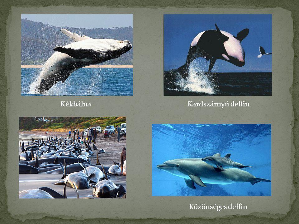 Kékbálna Kardszárnyú delfin Közönséges delfin