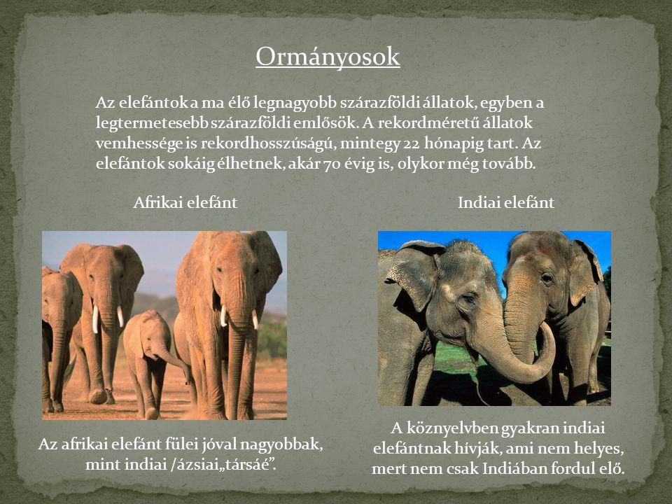 """Az afrikai elefánt fülei jóval nagyobbak, mint indiai /ázsiai""""társáé ."""