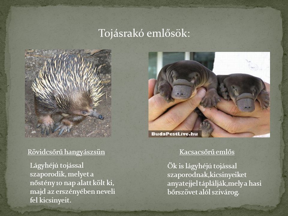 Tojásrakó emlősök: Rövidcsőrű hangyászsün Kacsacsőrű emlős