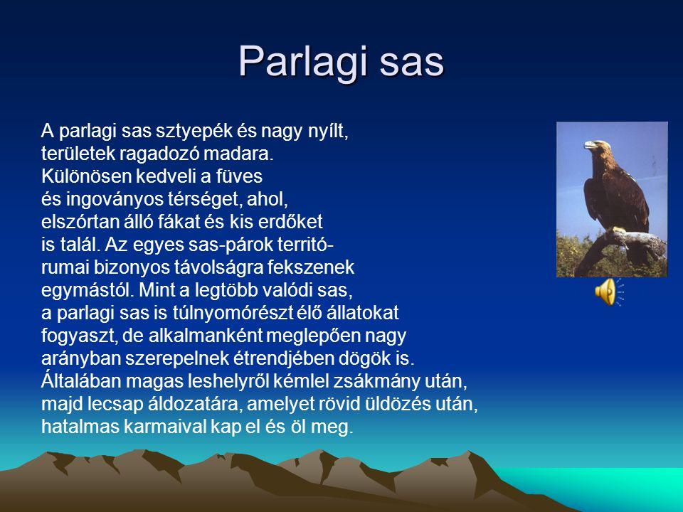 Parlagi sas A parlagi sas sztyepék és nagy nyílt,