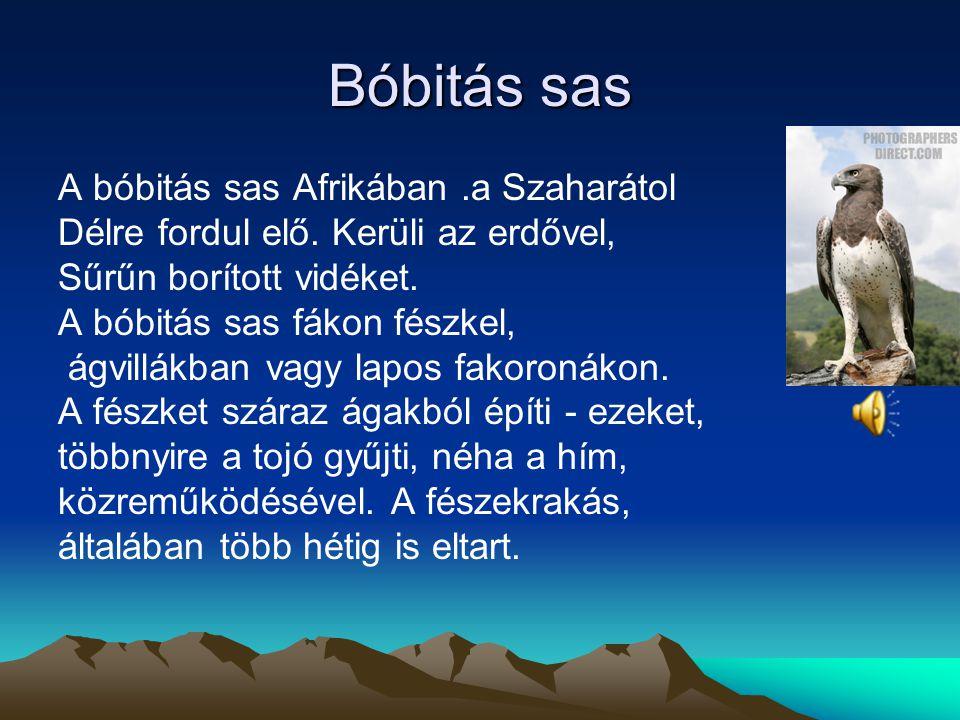 Bóbitás sas A bóbitás sas Afrikában .a Szaharátol