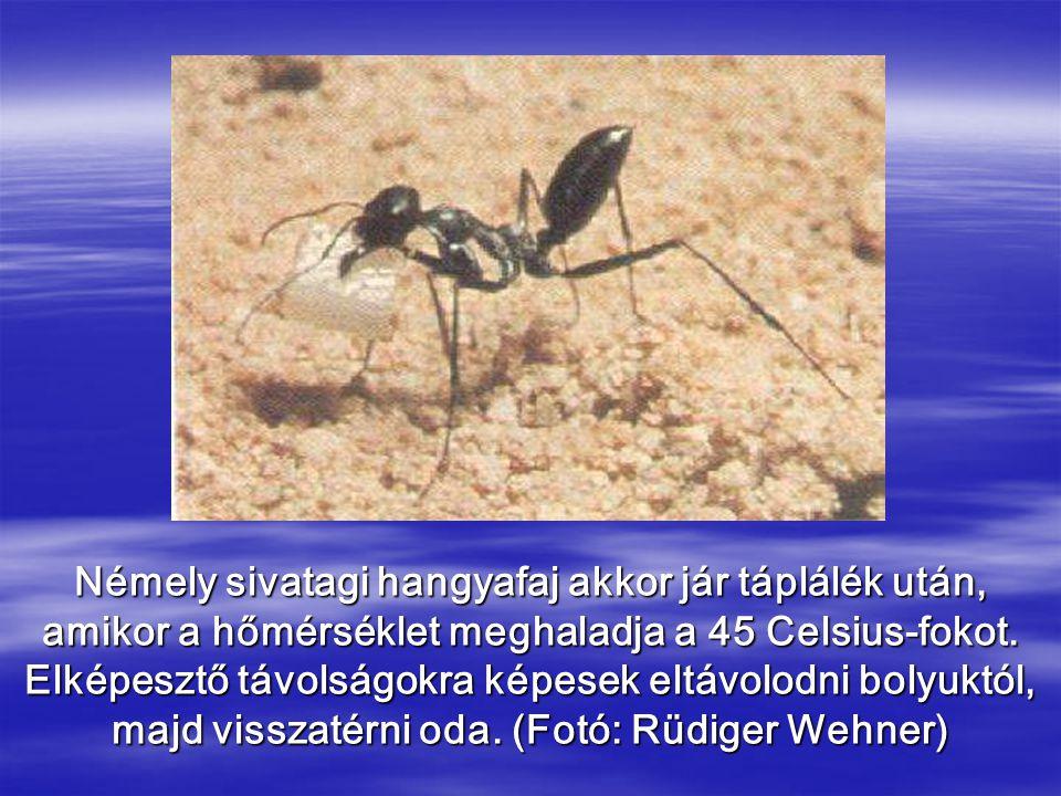 Némely sivatagi hangyafaj akkor jár táplálék után, amikor a hőmérséklet meghaladja a 45 Celsius-fokot.