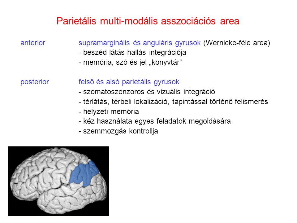 Parietális multi-modális asszociációs area