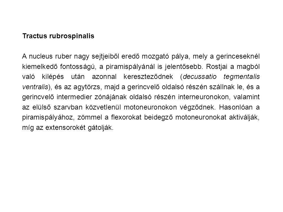 Tractus rubrospinalis