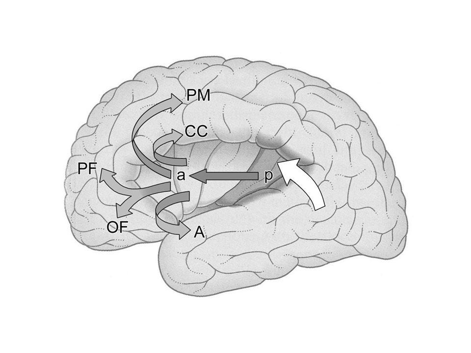 2Babra.jpg D:\A_PM\Előadások-ppt\_PhD kurzus 2011\20110915_1eloadas\20110915_Systems neuroanatomy1.ppt\ 35. dia.