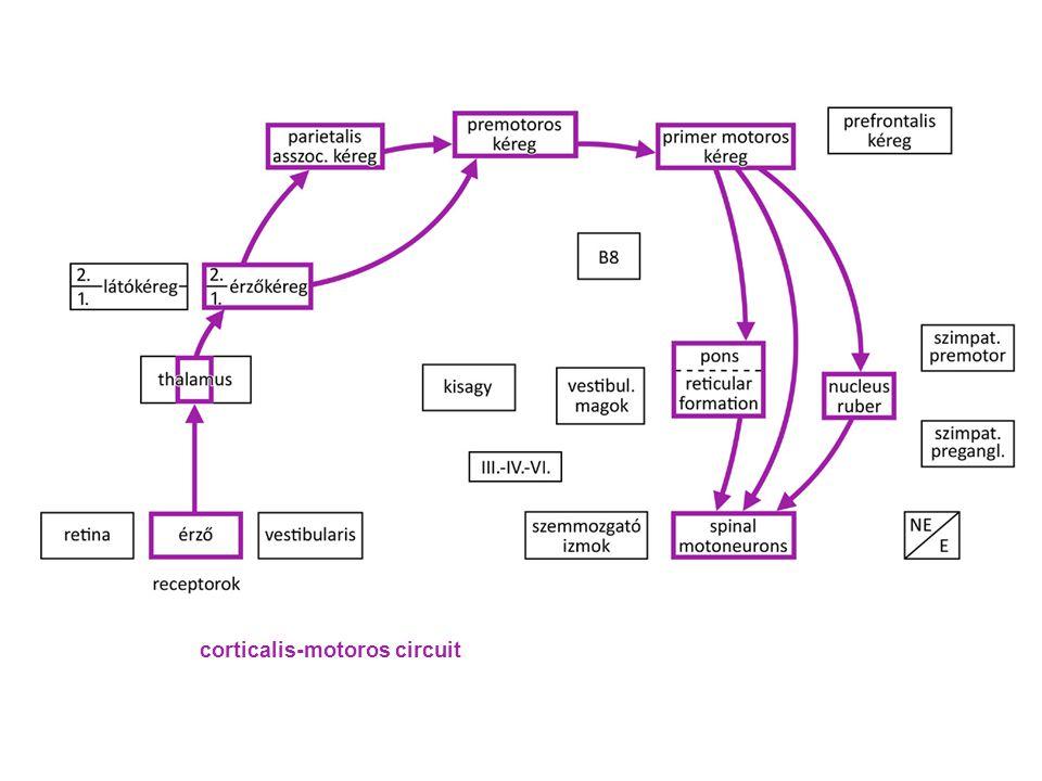 corticalis-motoros circuit
