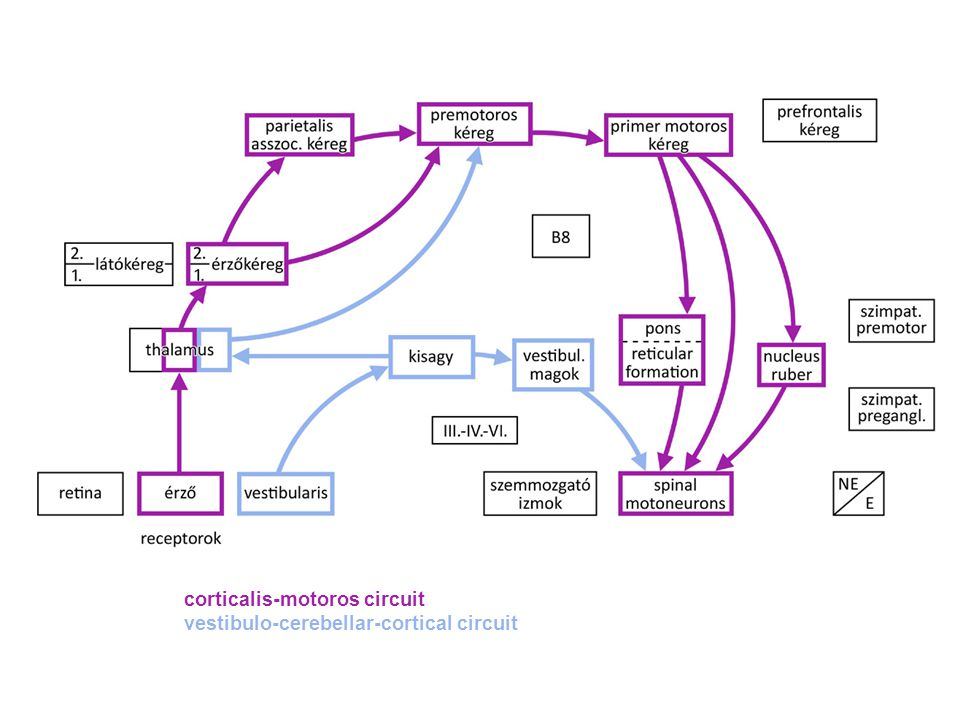 corticalis-motoros circuit vestibulo-cerebellar-cortical circuit