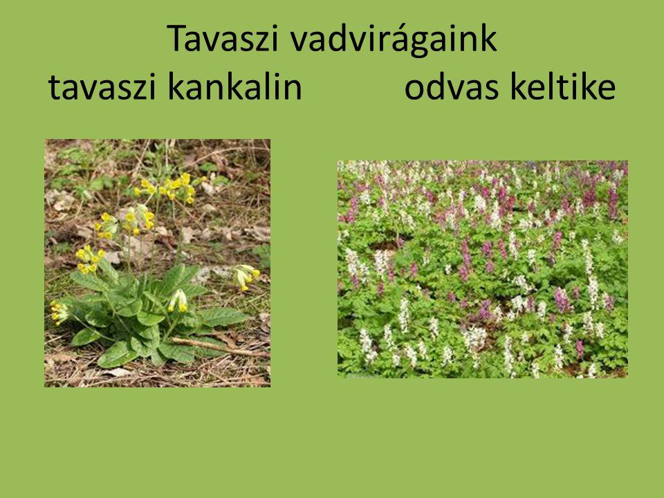 Tavaszi vadvirágaink tavaszi kankalin odvas keltike