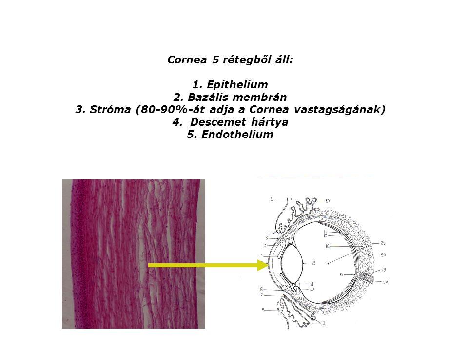 Cornea 5 rétegből áll: 1. Epithelium 2. Bazális membrán 3