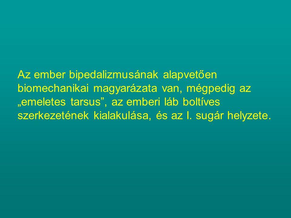 """Az ember bipedalizmusának alapvetően biomechanikai magyarázata van, mégpedig az """"emeletes tarsus , az emberi láb boltíves szerkezetének kialakulása, és az I."""