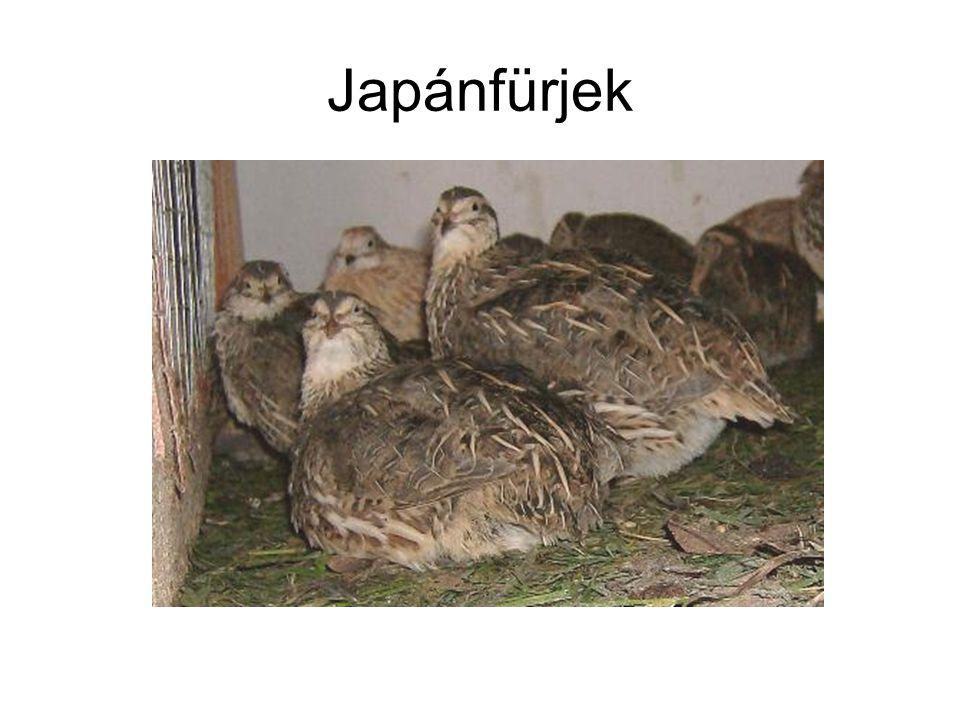 Japánfürjek