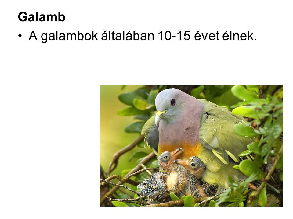 Galamb A galambok általában 10-15 évet élnek.