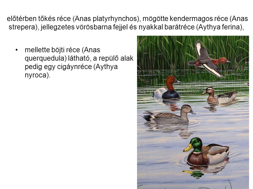 előtérben tőkés réce (Anas platyrhynchos), mögötte kendermagos réce (Anas strepera), jellegzetes vörösbarna fejjel és nyakkal barátréce (Aythya ferina),