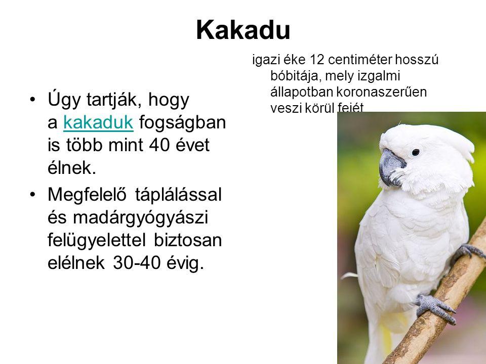 Kakadu igazi éke 12 centiméter hosszú bóbitája, mely izgalmi állapotban koronaszerűen veszi körül fejét.